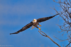 Take Off (Todd Ryburn) Tags: canon wildlife iowa mississippiriver eagles 2012 bif baldeagles lockdam14 canon800mmf56 canon1dx