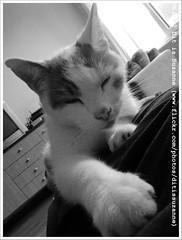 * (Dit is Suzanne) Tags: blackandwhite cat kat zwartwit kater happychristmas broertje merryxmas  froheweihnachten  views500 ditissuzanne  prettigekerst  fijnekerst samsunggalaxygio  07072012 20120707160539copy2
