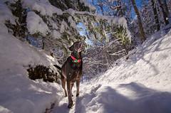 Boudha in winter wonderland (Noemilag) Tags: winter dog chien snow labrador hiking hiver hike retriever chocolatelab neige mansbestfriend flickriosapp:filter=nofilter uploaded:by=flickrmobileboudharougemontchienhiverrandonne