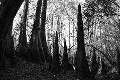Florida Trail - Eglin Range Complex, Florida (fisherbray) Tags: bw usa tree nikon unitedstates florida hiking hike trail cypress airforce usaf baum floridatrail eglin cypressknee eglinafb autochrome okaloosacounty d5000 floridanationalscenictrail fisherbray eglinrangecomplex