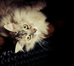 Madame Michelle (Cyrielle Beaubois) Tags: canada green eye look cat chat hiver gato qubec nol 2012 regard dcembre cyriellebeaubois