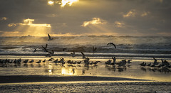 i had to fly to catch you | san gregorio, california (elmofoto) Tags: ocean sunset sunlight seagulls beach northerncalifornia coast nikon day waves pacific fav50 cloudy crash flock flight fav