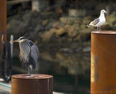 GB Heron (K D Photos) Tags: winter heron dock december bc pacific northwest britishcolumbia wildlife seagull victoria vancouverisland pilings greatblueheron 2012 breakwater ogdenpoint