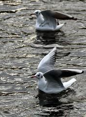 J77A1867 -- Two Black-headed Gulls just after landing (Nils Axel Braathen) Tags: france nature birds wildlife fugler oiseaux blackheadedgull levsinet lachmwe gaviotareidora mouetterieuse hettemke vogeln chroicocephalusridibundus