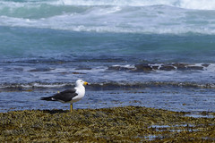 Gull standing on seaweed (John Harvey Photography) Tags: blue sun white black seaweed water standing waiting rocks waves gull watching australia wash southaustralia portlincoln eyrepeninsula everclearphotography johnharveyphotography