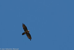 Le gypaete (Jihaisse) Tags: france birds aves savoie oiseaux rhonealpes accipitridae rhnealpes accipitriformes beardedvulture gypaetusbarbatus gypatebarbu peiseynancroix accipitrids
