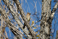 Cedar Waxwing (Arizphotodude) Tags: arizona bird nature birds animal animals wings nikon wildlife birding flight az gilbert nikkor cedarwaxwing avian ariz gilbertaz 2013 gilbertriparianpreserve riparianpreserve d7k d7000 sigma150500 nikond7000 riparianranchatwaterpreserve brucewolke