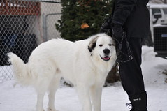 Time for some petting action. (Jpnowak) Tags: greatpyrenees largedog