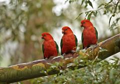 King Parrots (jyork2003) Tags: australia nsw christmasday avocabeach 3wisemen kingparrots