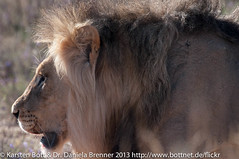 "Lion • <a style=""font-size:0.8em;"" href=""http://www.flickr.com/photos/56545707@N05/8365047528/"" target=""_blank"">View on Flickr</a>"