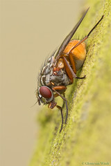 Phaonia subventa (Glenn van Windt) Tags: macro nature closeup insects flies tamron diptera muscidae phaonia