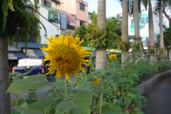 sunflowers in the center divider (the foreign photographer - ) Tags: flowers thailand market bangkok parking entrance lot center mai sunflower divider bangkhen saphan yingcharoen