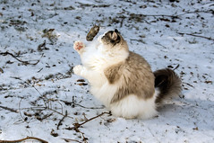 Tossing the Vole Around (flying cats (AKA Penny Carlson)) Tags: winter cat jump jumping action zeus prey vole ragdoll