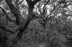 oakpark (gnhowlett47) Tags: trees blackandwhite film nature forest tampa landscape tampabay pentax florida parks vegetation oakpark