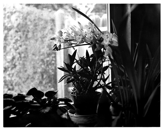 orchids crowngraphicspecial4x5 ilfordfp4125bwsheetfilm homedevelopedtacostylecaffenolc
