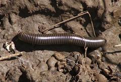 Millipede - Tylobolus (az3) Tags: las millipede trampas lastrampas spirobolidae