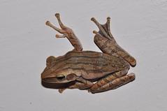 Common Tree Frog, Four-lined Tree Frog, or Striped Tree Frog (Polypedates leucomystax) (Pasha Kirillov) Tags: southeastasia malaysia penang amphibians rhacophoridae polypedatesleucomystax fourlinedtreefrog