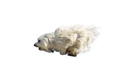 Hund beim rennen (buchsammy) Tags: action ernst hund bichon augen ziel weiss rennen fell haustier spiel tier laufen freude spas weis galopp freigestellt schosshund langhaar freisteller wuschelig vierbeiner rassehund havaneser hunderasse saugetier begleithund besterfreund havanais fixiert blinkagain