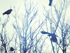 Quartet (liquidnight) Tags: camera morning blue trees winter birds animals misty oregon portland wings nikon bare wildlife branches birding dream foggy silhouettes treetops filter gathering urbanwildlife pdx dreamy laurelhurst crows loud birdwatching corvid noisy cyanotype vocal corvusbrachyrhynchos alight d90 raucous pinions clamour instagram