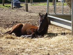 Repos (Malys_) Tags: cheval poulain foin
