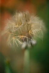 Dandelion Like Seeds (dennisgg2002) Tags: towerhillbotanicalgardenboylston massachusetts flowers vintage lens wide open