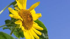 201608_22_2560 (noriko_v) Tags: sunflower flower summer nature