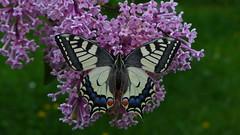Schwalbenschwanz (Aah-Yeah) Tags: schwalbenschwanz papilio machaon swallowtail schmetterling tagfalter butterfly marquartstein achental chiemgau bayern
