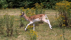 running (bugman11) Tags: deer mammal mammals animal animals fauna damhert nature nederland thenetherlands 1001nights