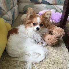 Molly in her comfort zone (mimbrava) Tags: molly papillon dog arr allrightsreserved mimeisenberg mimbrava mimbravastudio