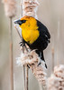 Yellow Headed Blackbird Series 2 (Patti Deters) Tags: bird yellowheadedblackbird yellow perched black tan songbird one single wild wildlife nature animal sitting male pussywillow cattail reeds marsh swamp song xanthocephalus yellowheaded small blackbird colorful colourful headed vertical art blurredbackground copyspace stock lobby office interiordesign