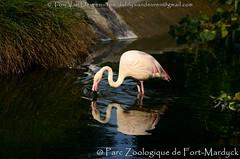 Europese Flamingo - Phoenicopterus roseus - greater flamingo (MrTDiddy) Tags: europese flamingo phoenicopterus roseus greater vogel bird parczoologiqquedefortmardyck parc zoologiqque de fortmardyck fort mardyck duinkerke duinkerque