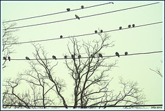 Birds on Wires (Irina Kiseleva) Tags: composition repetition nature ny farrockaway sky tree bird color black photoborder cable wire