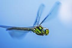 Dragonfly in Flight (pavel conka) Tags: dragonfly flight vka letc macro makro conka czech blue meg flickr estrellas