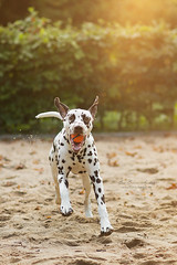 happy day (Bea Burin-Herbst | Fotografie) Tags: dog dalmatian hund rde dalmatiner outdoor nature sand sonne sun summer sommer sirius ball 85mm flares freude happy pet petphotographer haustier haustierfotografie petphotography lovely love