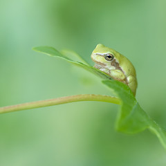 Boomkikker (Koos63) Tags: treefrog reptiles ans amphibians macro green