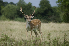 Fallow Deer (Philip Moore Photography) Tags: deer fallowdeer buck park nationaltrust damadama nature wildlife warwickshire charlecotepark
