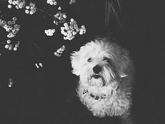 bby (witherbees.) Tags: dog maltese bby love bw pretty doglovers animalovers nature flowers vsco vscocam