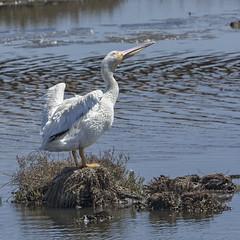 American White Pelican (Pelecanus erythrorhynchus) 3 092216 (evimeyer) Tags: americanwhitepelican pelecanuserythrorhynchos bolsachica wildlifephotography