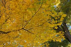 Yellow (Kurt582) Tags: central park nyc centralpark new york city fall autumn ny