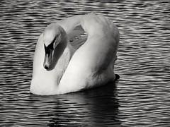 Swan (PhotoLoonie) Tags: swan muteswan feathers blackandwhite ukwildlife britishwildlife wildlife wings
