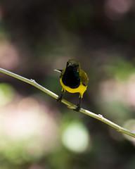 20160916-7D2_8998 (shutterblades) Tags: birds canon100400lmkii canon7d2 mandaizoo olivebackedsunbird singaporezoo
