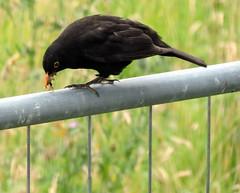Eurasian Blackbird, Turdus merula (asterisktom) Tags: 2016 trip2016kazakheuro july germany wiesbaden blackbird eurasianblackbird turdusmerula thrush