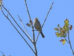 Immature female Indigo Bunting (Goggla) Tags: nyc new york urban wildlife bird indigo bunting immature juvenile female governorsisland indigobunting governors island