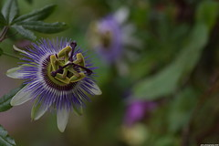 Arch Passiflora (_pkm_photography) Tags: pkmphotography2016 dslr nikon d3300 passiflora