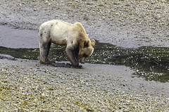 Digging for Clams (Alan Vernon.) Tags: brown bear coastal ursus grizzly arctos horribilis young immature three year cub digging nature wildlife wild mammal american bears omnivore predator shore