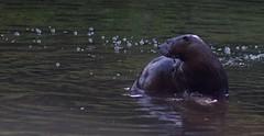 Otter time (Kurt Schneider) Tags: river otter coquitlam fraser upper park animal water pond hiking fall summer beaver poco trail
