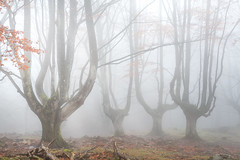 FALLEN TREE (Jesus Bravo) Tags: fog foggy forest woods fall autumn gorbeia gorbea natural park parque esuskadi bizkaia basque country spain