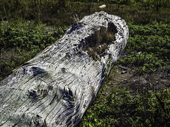 Been a while (Tony Tomlin) Tags: driftwood log blackiespit crescentbeach britishcolumbia