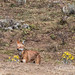 The Ethiopian wolf and its lunch: the giant mole rat