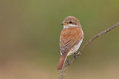 Red-backed Shrike (redmanian) Tags: redbacked shrike east sussex butcherbird
